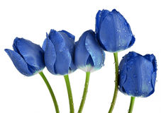 Dewy blue tulips Royalty Free Stock Photo