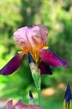 Dewy Blumenblätter der Blende Stockfoto