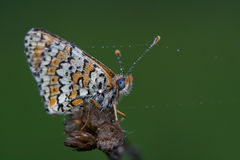 Dewy butterfly Stock Images