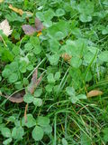 Dewy clover leaves on lawn. Dewy clover leaves among grass blades and autumn fallen leaves, in november Royalty Free Stock Image