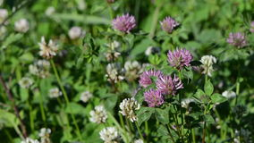 Dewy clover plants. Closeup of dewy white and red clover plants grow in meadow stock footage