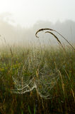 Dewy cobweb suspended on grass seed heads on a misty morning Royalty Free Stock Images