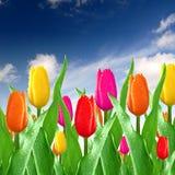 Dewy color tulips Stock Photos