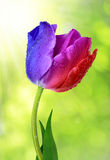 Dewy colorful tulip Royalty Free Stock Images