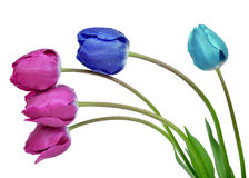 Dewy colorful tulips Royalty Free Stock Image