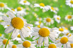 Dewy daisies Royalty Free Stock Photography