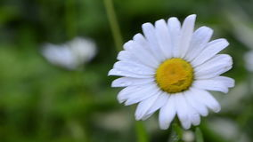 Dewy daisy flower bloom Royalty Free Stock Photo