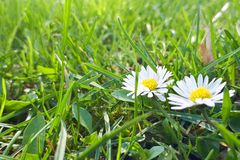 Dewy daisy flowers in grass. Soft focus. Spring background stock photography