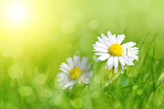 Dewy daisy flowers in grass. Stock Photos