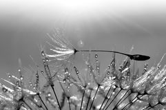 Dewy dandelion. Beautiful dewy dandelion - black and white Royalty Free Stock Photos