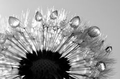 Dewy dandelion. Close-up of wet dandelion seed with drops Royalty Free Stock Photo