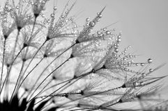 Dewy dandelion. Flower close up Stock Photography