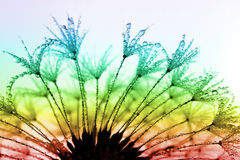 Dewy dandelion. Flower close up Stock Images