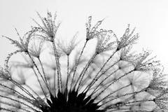 Dewy dandelion Stock Image