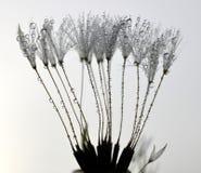 Dewy dandelion Stock Images