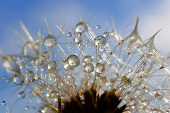 Dewy dandelion flower Royalty Free Stock Image