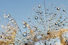 Dewy dandelion flower Royalty Free Stock Photo