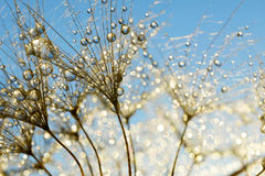 Dewy dandelion flower Royalty Free Stock Images