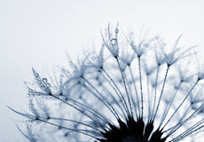 Dewy dandelion flower Royalty Free Stock Photos