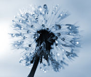 Dewy dandelion flower. Close up Royalty Free Stock Photo