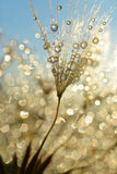 Dewy dandelion flower Royalty Free Stock Images