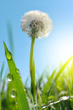 Dewy dandelion flower in grass Royalty Free Stock Photography