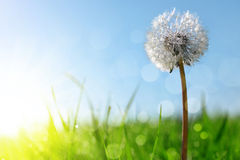 Dewy dandelion flower in grass. Soft focus. Nature background Royalty Free Stock Image