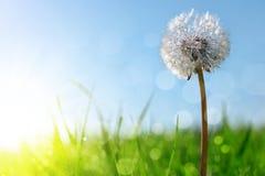 Dewy dandelion flower in grass. Royalty Free Stock Image