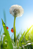 Dewy dandelion flower with ladybugs Royalty Free Stock Photography