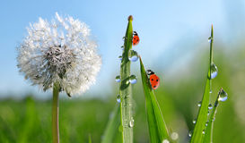 Dewy dandelion flower with ladybugs in grass. Royalty Free Stock Images