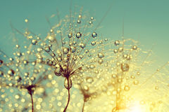 Dewy dandelion flower. At sunrise close up Stock Images