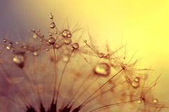 Dewy dandelion flower Royalty Free Stock Photography