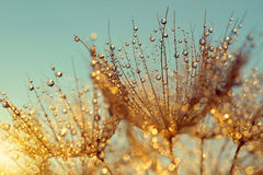 Dewy dandelion flower at sunrise Stock Photo