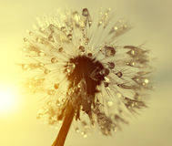 Dewy dandelion flower at sunrise close up. Royalty Free Stock Photos