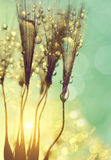 Dewy dandelion flower Stock Photo