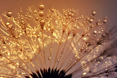 Dewy dandelion Royalty Free Stock Photography