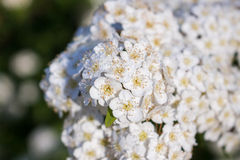 Dewy flowering shrub bridal wreath spirea Stock Images