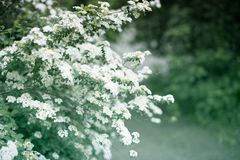 Spirea bushes bloom in the spring in May. Dewy flowering shrub bridal wreath spirea, floral background.Spirea bushes bloom in the spring in May stock photography