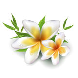 Dewy frangipani flowers with leafs Royalty Free Stock Photos