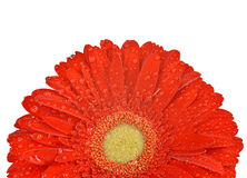 Dewy gerbera flower Stock Photography