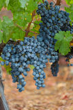 Dewy grapes Stock Photography