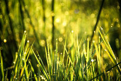 Dewy Grass Royalty Free Stock Image