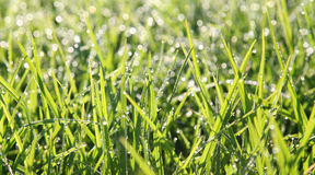 Dewy Grass. Close-up of early morning dew drops on grass. Subject back-lit by bright sunlight Stock Photography
