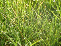 Dewy grass. Fresh grass with the dew of morning Royalty Free Stock Image