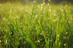 Dewy green grass background Stock Image