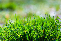 Dewy green grass, blurred background Stock Image