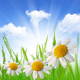 Dewy green grass with daisies Royalty Free Stock Photos