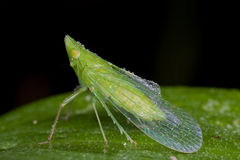 A dewy green planthopper Royalty Free Stock Image