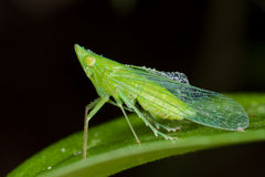 A dewy, green treehopper Royalty Free Stock Photo