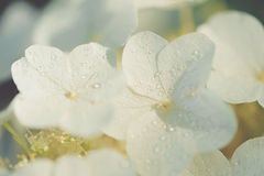 Dewy hydrangea in the sun Royalty Free Stock Photos